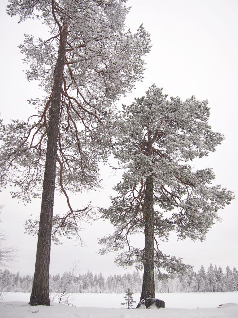 luminen mänty
