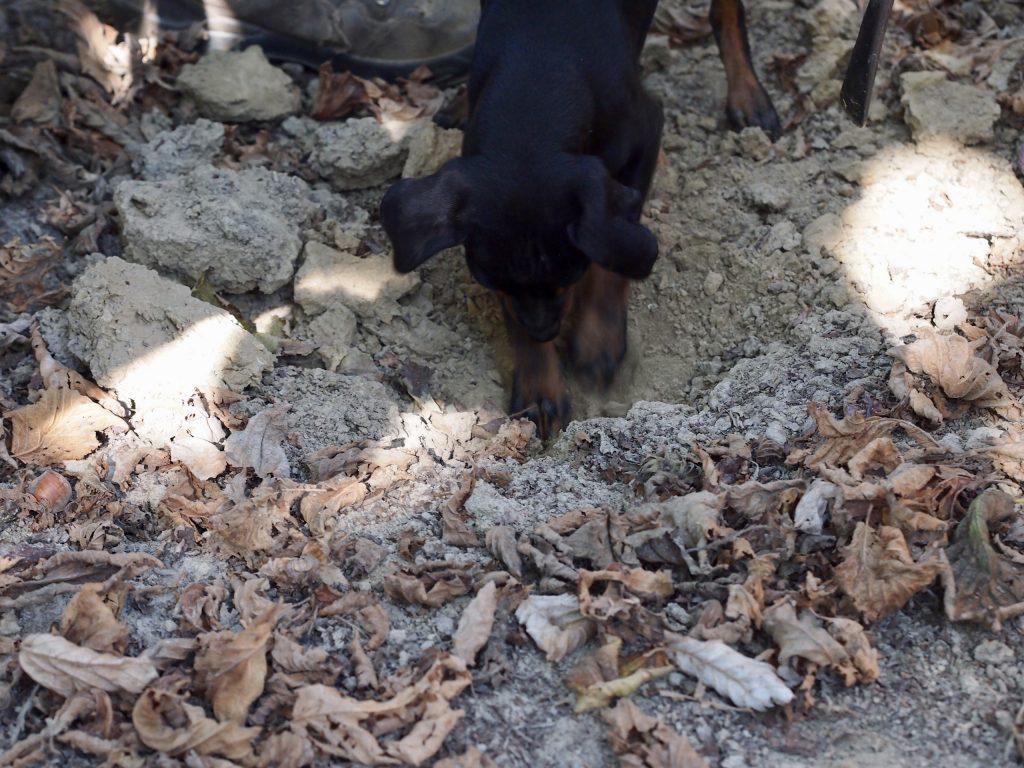 tryffelin kaivaminen