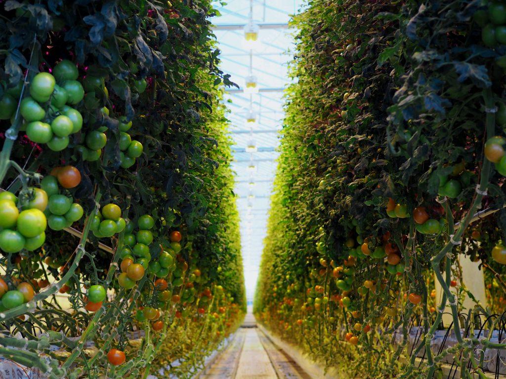 kotimainen kasvihuonetomaatti